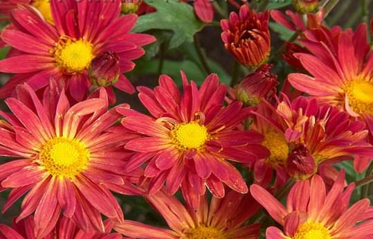 Хризантемы ромашковые - OgorodGuru